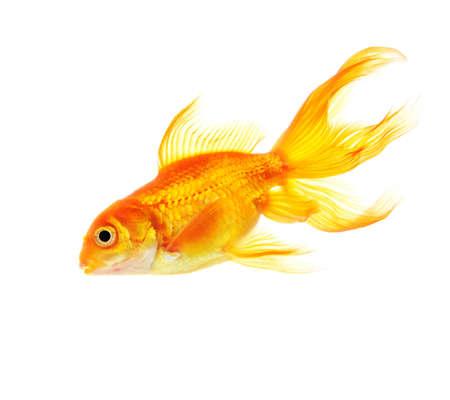 Gold fish isolated on white background Stock Photo - 18258839