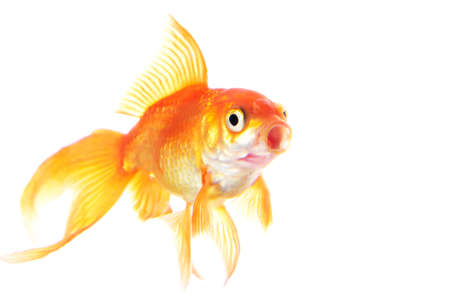 Gold fish isolated on white background Stock Photo - 18258733