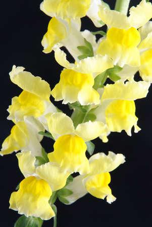 notable: yellow antirrhinum (snapdragon) flower isolated on black background