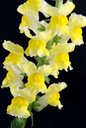 yellow antirrhinum (snapdragon) flower isolated on black background Stock Photo - 18259760