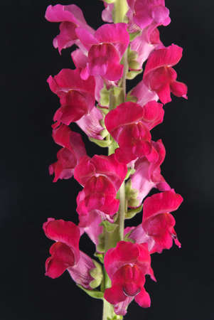 crimson antirrhinum (snapdragon) flower isolated on black background photo
