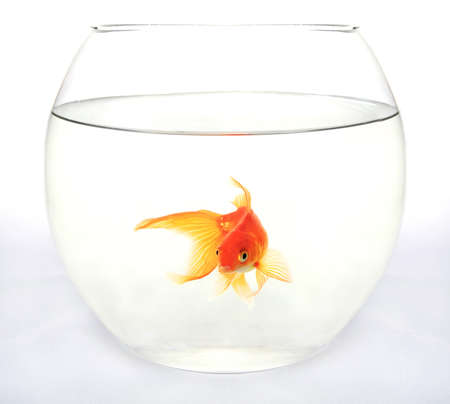 Gold fish in round aquarium against white background Stock Photo - 18258758