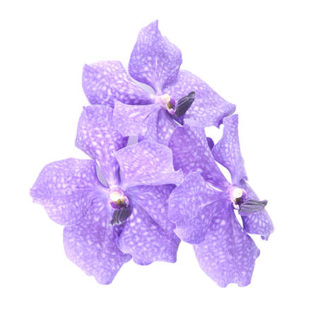 vanda: three blue orchids branch isolated on white background Stock Photo