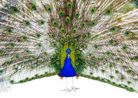 indian peafowl: bright peacock with the opened train portrait