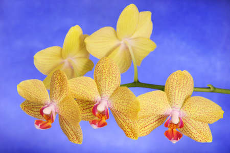 Phalenopsis Brother Girl beautiful yellow orchid branch against the sky photo