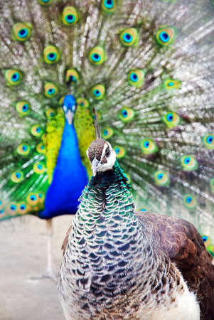 indian peafowl: bright peacock cock with the opened train and the peacock hen portrait Stock Photo