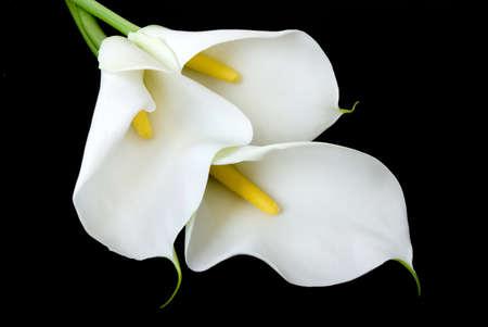 lilie: drei wei�e Calla Lilien auf einem schwarzen Hintergrund isoliert Lizenzfreie Bilder