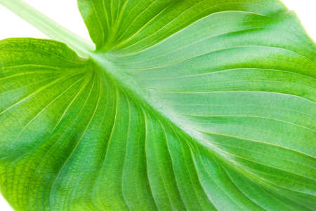 venation: green classic leaf background or texture with pinnate venation