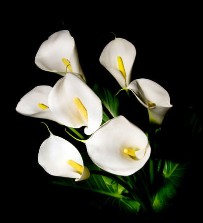 posy of seven white Calla lily isolated on black background Stock Photo