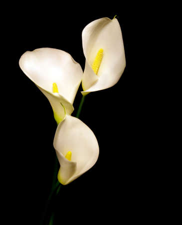 posy of three white Calla lily isolated on black background photo