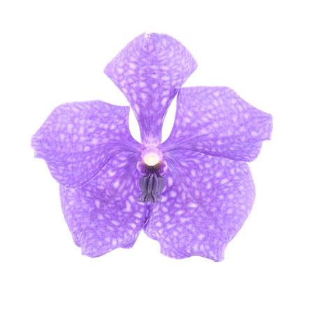 vanda: Beautiful blue orchid isolated on white background