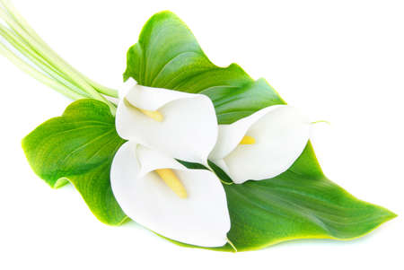fleur arum: trois lis calla blanc bouquet avec des feuilles vertes isol� sur un fond blanc Banque d'images
