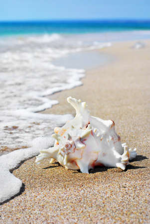 ostracean: white seashell on sand beach in water