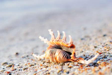 the seashell on sandy beach photo