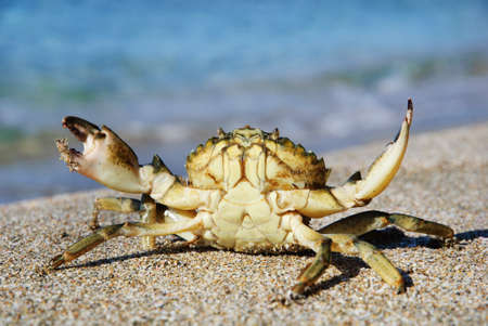 natural crab on the sand against the sea at beach Stock Photo