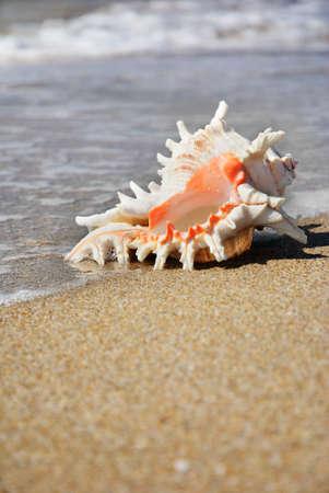 ostracean: seashell on the beach sand