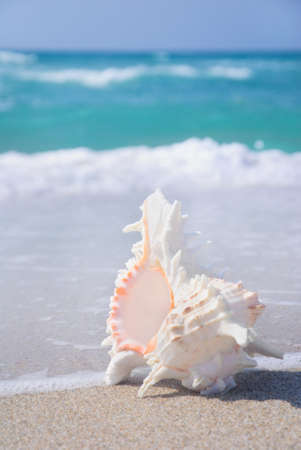 ostracean: seashell on clean sandy beach against blue sea background