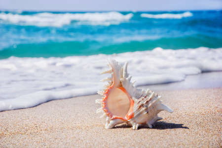 ostracean: seashell background on the clean sandy beach against waves
