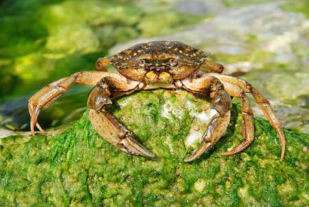 이끼와 녹색 돌에 바다 물에 천연 게