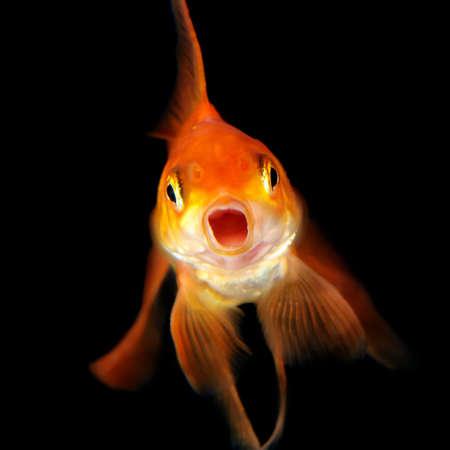 brilliant   undersea: Gold fish isolated on black background Stock Photo