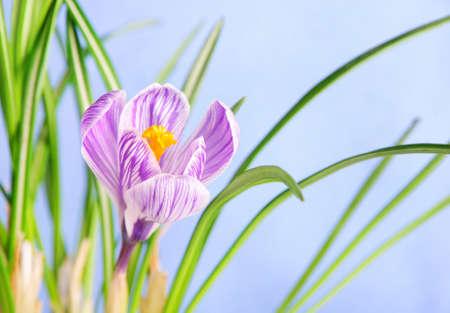 Spring crocus flower against blue sky photo