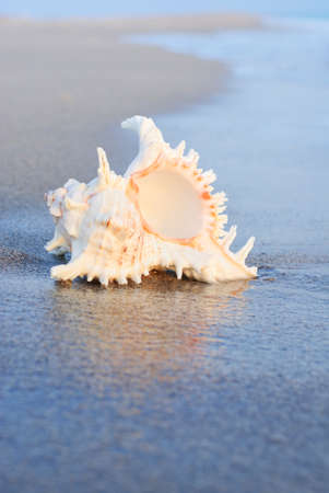 ostracean: sea background with seashell on the clean sandy beach against waves