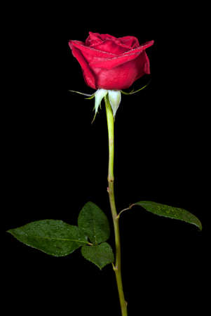 red rose isolated on black background Stock Photo - 24910355