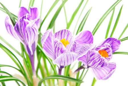 three spring crocus flowers with leaves against white background photo