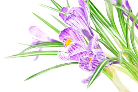 early summer: spring crocus flowers with leaves isolated on white background Stock Photo