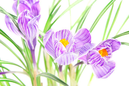 early summer: spring crocus flowers with leaves against white background Stock Photo