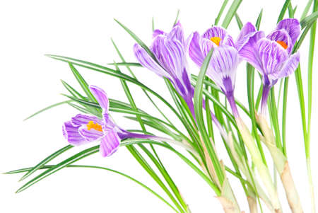 spring crocus flowers with leaves isolated on white background