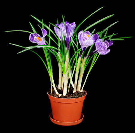 spring crocus flowers with leaves  in pot isolated on black background photo