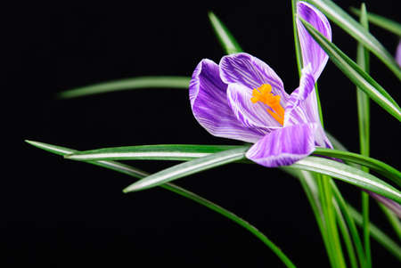 spring crocus flower with leaves isolated on black background photo