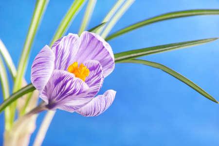 crocus: Spring crocus flower against blue sky Stock Photo