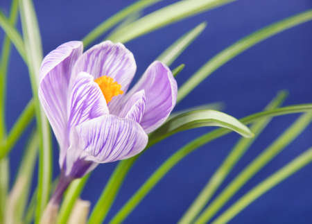 Spring crocus flower against blue background photo