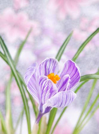 crocus: beautiful crocus flower with leaves background Stock Photo