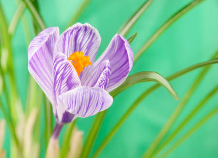 early summer: beautiful crocus flower with leaves against green background