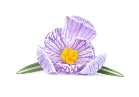 spring crocus flower with leaves isolated white background photo
