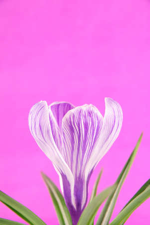 Spring crocus flower with leaves against lilac background photo