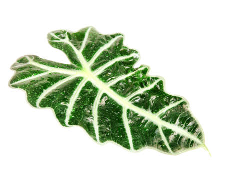 nervation: green leaf of Alocasia (Schott) with water drops isolated on white background