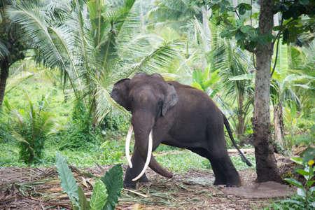Elephant portrait with large tusks in jungle, Sri Lanka photo