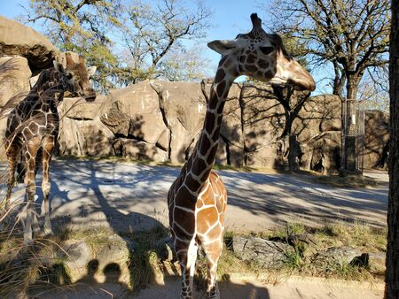 Giraffe at San Antonio Zoo