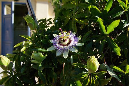 passions: passion flower