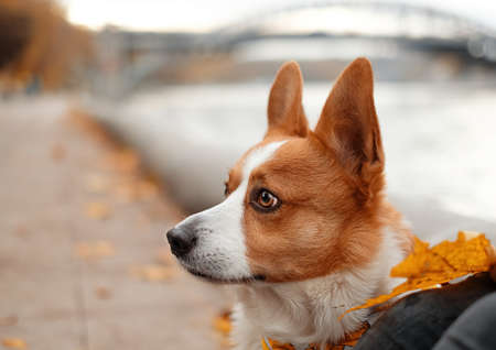 Welsh corgi outside portrait in the autumn park