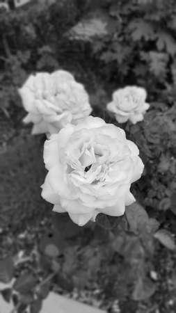 at white: White Roses
