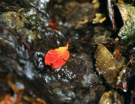 Red leaf in a stream