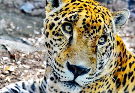 Jaguar Princess Stock Photo