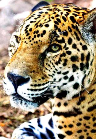 Jaguar Eyes Stock Photo