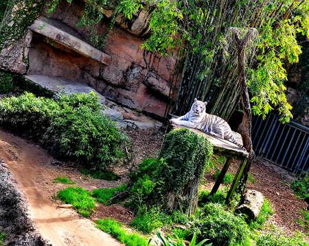 White Tiger Jungle