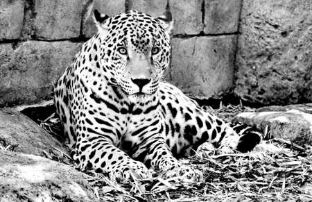 Black  White Jaguar Stock Photo